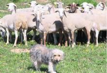 'La ramaderia extensiva i ecològica', amb Anna Gomar